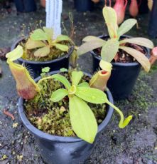 NCOL8 Nepenthes Collection 3